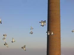 Tauben im Anflug