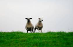 Wallace und Gromite und die Schafdiebe