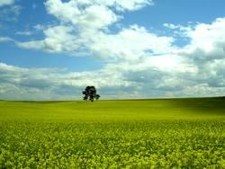 Das Rapsfeld  und der einsame Baum