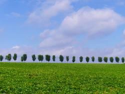 Bäume in Reih' und Glied