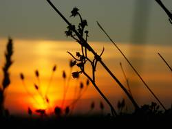 Halme in den letzen Sonnenstrahlen