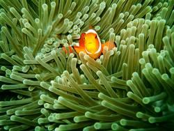 Falscher Clownfisch (Amphiprion ocellaris)