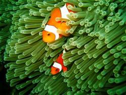 Anemonenfische - Falsche Clownfische