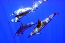 Delfine bei Niue (Pazifischer Ozean)