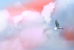 Single brid flying free in front of clouds in the sky