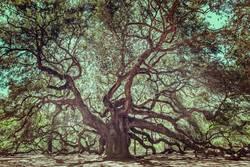 Angel Oak Tree on John's Island, South Carolina.
