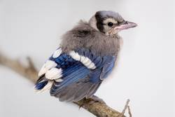 Baby Blue Jay sitting on a branch