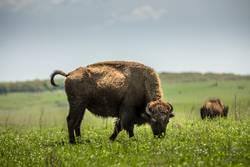 American bison American Oklahoma USA