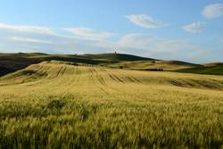 Getreidefeld in der Toskana