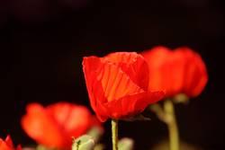 (Red) Mohn