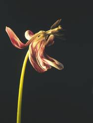 Withered purple tulip on a dark background