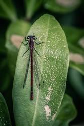 Libelle auf Blatt