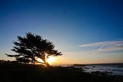 monterey sunset tree