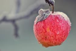 Apfel der Erkenntnis