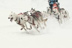 Schlittenhundegespann in voller Fahrt