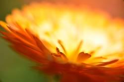 Feuerblume I