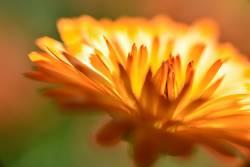 Feuerblume II