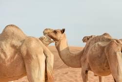 Kamele, Vereinigte Arabische Emirate, Dubai, Abu Dhabi