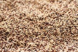 close up of mixed quinoa seeds