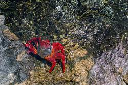 Red crab on the rock, with the sea around.