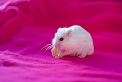 hamster eating a piece of cheese