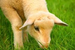 Lamm auf der Wiese