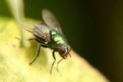 Fliege in freier Wildbahn
