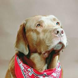 Doggy style Labrador