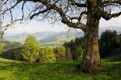 Baum an der Hundwiler Höhi
