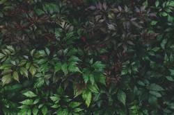 dark purple leaves of astilbe close up in summer garden