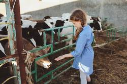 kid girl feeding calf on cow farm.