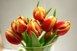 Tulpen dann nah