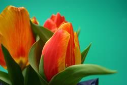 Tulpen #4