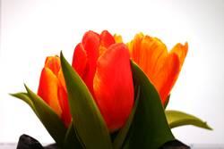 Tulpen #1
