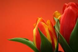 Tulpen #3