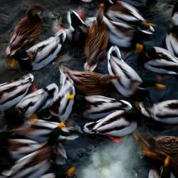 Ente süß/sauer (unscharf)