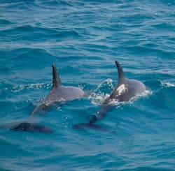 Delphine im Roten Meer