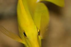 Yellow Mellow Swing