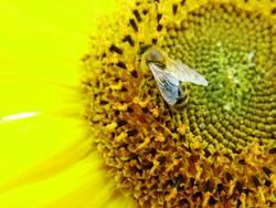 sonnenblumenbienchen