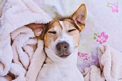 Sleepy cute dog in blanket on bed