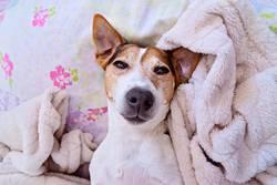 Cute sleepy muzzle of dog looking at camera
