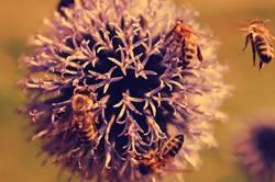 Bienen im Dommer