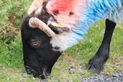 Bunt Schaf
