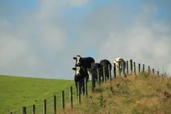 Der Zug der Kühe