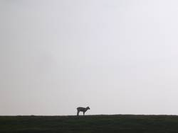 Bock auf Schaf