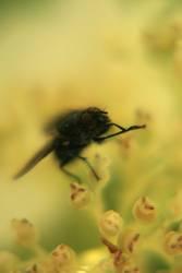 Die Fliege die ne Biene sein wollte