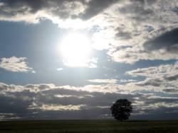 Ein Baum allein im Gerstenfeld