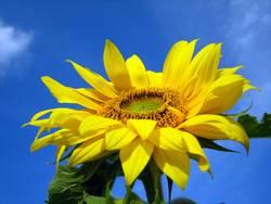 Sonne - Sommer - Sonnenblume