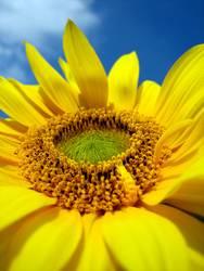 Sonnenblumendetail