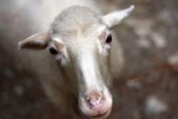 Oh, wie süß.. Ein Schaf..